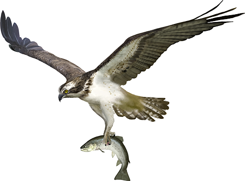 Image of osprey holding fish.