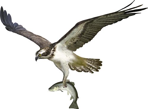 Image of osprey holding fish.