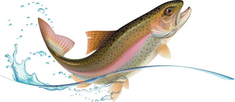 Illustration of leaping rainbow trout.